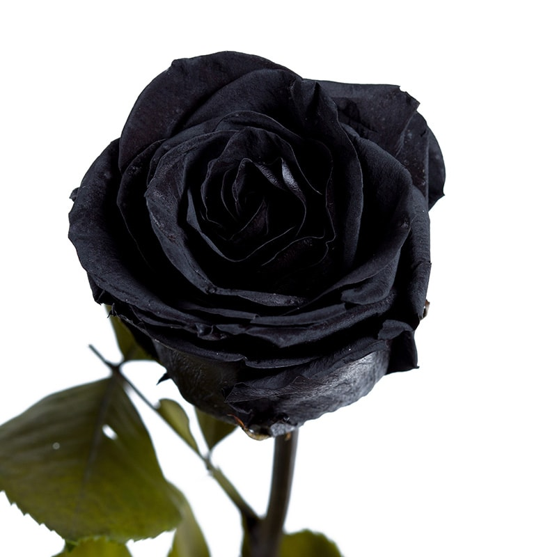 Must roos, black rose
