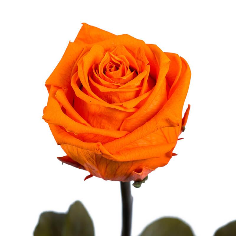 Oranž roos