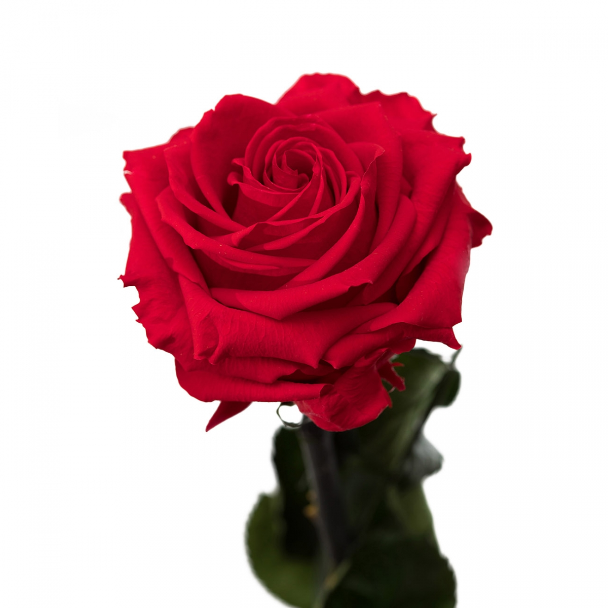 kingsize-roos-puidust-karbis-punane2