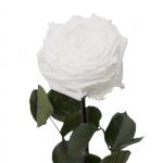 kingsize-roos-puidust-karbis-valge2