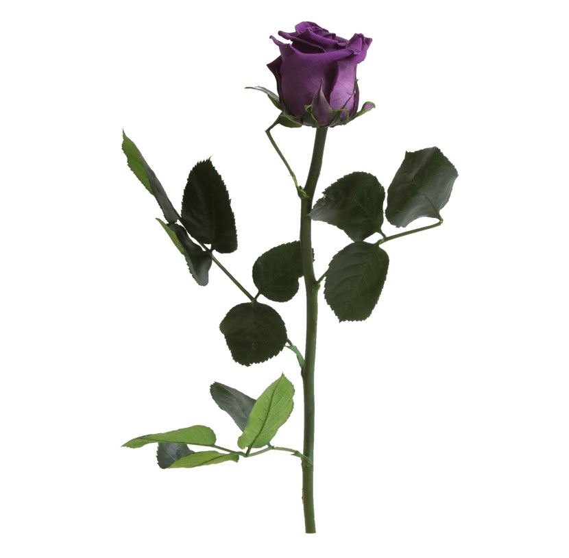väike roos lilla
