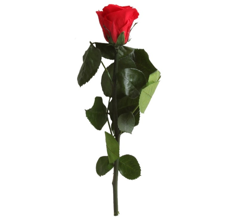 Punane roos